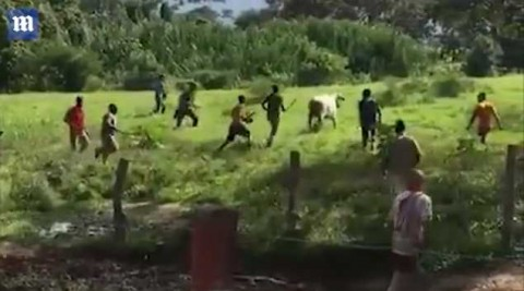 Dozens of men shout 'we are hungry' and 'people are suffering' as they surround the cow in the field (pictured), throwing stones at it and beating it with a stick. Photo: CEN