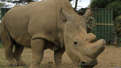 Sudan, the world's last remaining male northern white rhinoceros, lives at Ol Pejeta conservancy, the largest black rhino sanctuary in East Africa, in Laikipia Plateau, Kenya, April 28, 2016. Photo: Jill Craig / VOA