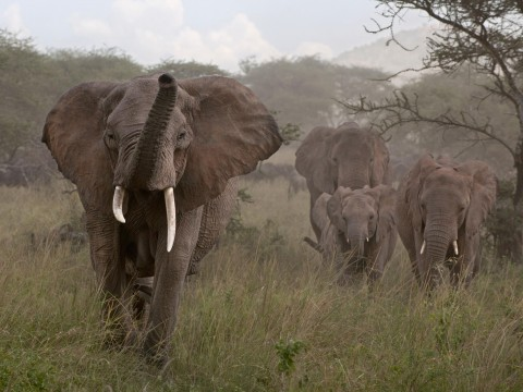 Ivory sold illegally across Europe, driving elephants to extinction, investigation finds