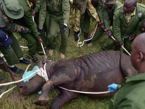 Eight out of 11 endangered black rhinos die after move to Kenyan national park